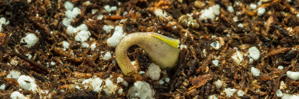 Marijuana seedling emerging from dirt
